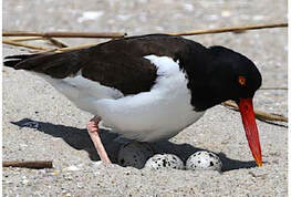 Picture oystercatcher with eggs